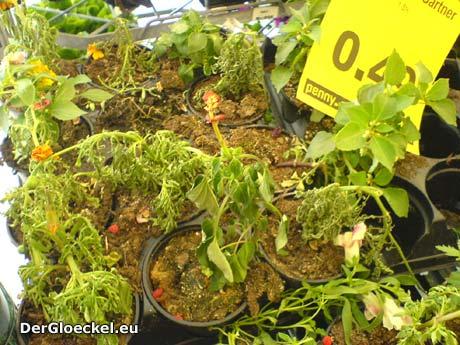 Ein Angebot von Pflanzen in der PENNY - Markt Kette | Foto: DerGloeckel.eu
